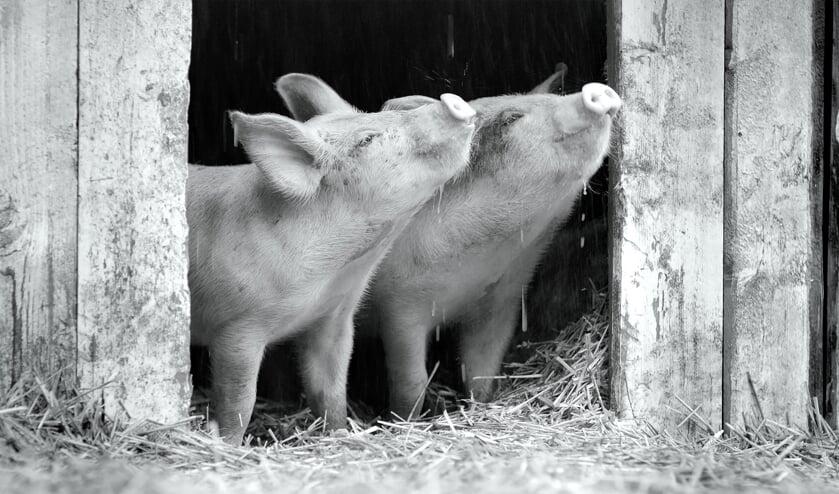 <p>Gunda een film over varkens van de vegetarische Russische regisseur Victor Kossakovsky&nbsp;</p>