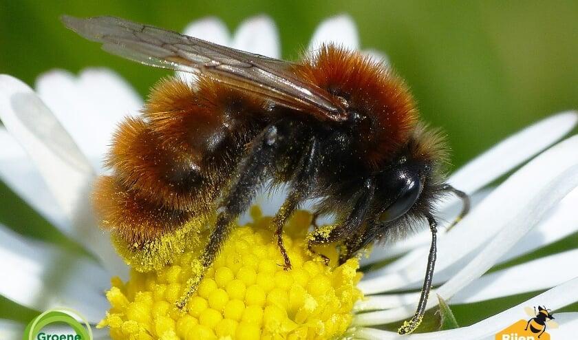 <p>Een Vosje (vrouw), een van de bijensoorten die nu te zien en te tellen zijn. Auteur: Menno Reemer</p>