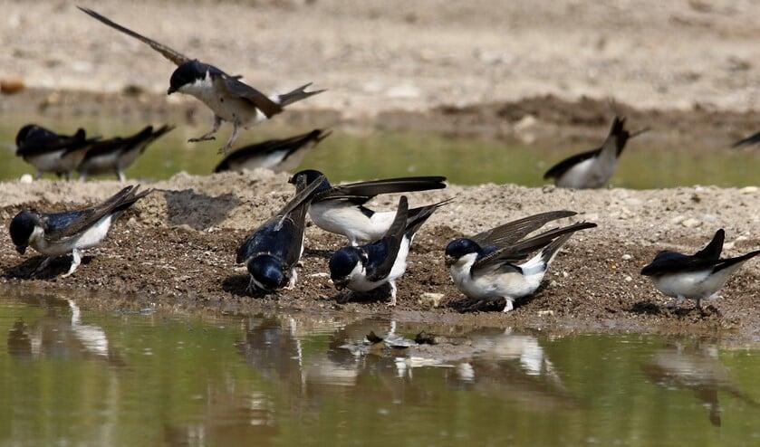 Huiszwaluwen verzamelen hapjes klei voor hun nesten (foto: Peter Elfferich)