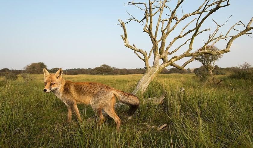 Een vos eet vlees en vruchten (foto: Gerard de Hoog)