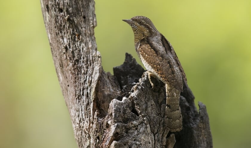 <p>Een draaihals is iets kleiner dan een spreeuw. (Foto: Gerard de Hoog)</p>