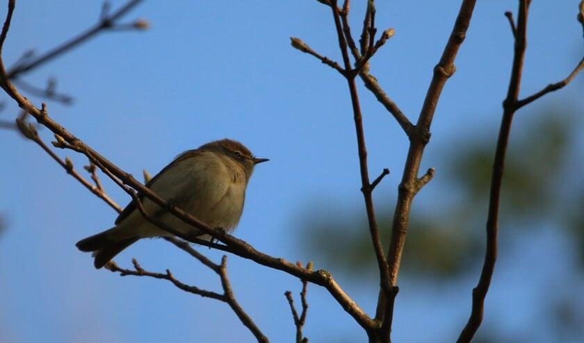 Een tjiftjaf is een kleine bruine vogel die zijn eigen naam zingt (foto: Peter Elfferich)