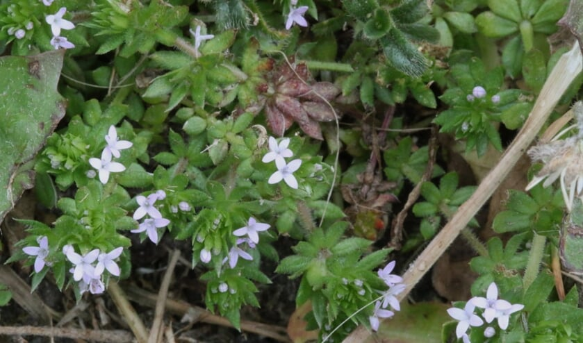 Blauw walstro is een kleine plant. (foto: Caroline Elfferich)
