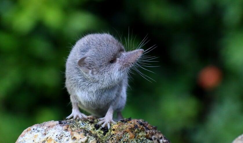 De huisspitsmuis is een roofdiertje (foto: Peter Elfferich)