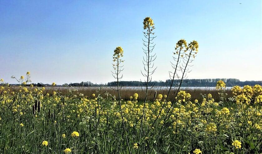 Uitgestrekte koolzaadvelden bij de waterplas in recreatiegebied Vlietland in Leidschendam (foto: Ton Lassche).