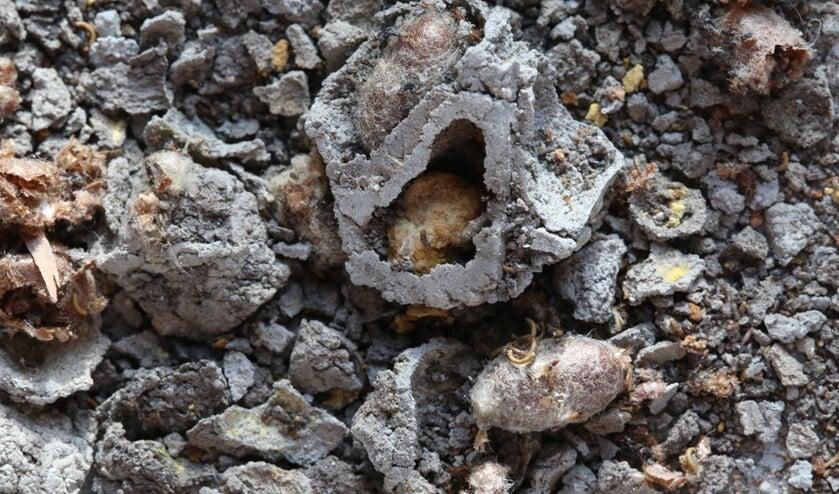 <p>Uit elkaar gevallen nestje van rosse metselbij. (foto: Caroline Elfferich)</p>