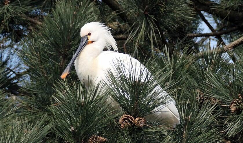 <p>Lepelaar in den, waargenomen vanaf het Linnaeuspad in Delft (foto: Ben Jansen)</p>