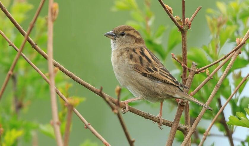 <p>Vrouwtje huismus (foto: Adri de Groot; www.vogeldagboek.nl)</p>