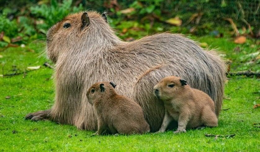 Op het park zijn weer diverse dieren geboren, waaronder drie capybara's, het grootste knaagdier ter wereld. (Foto: Jeroen de Bruijn)