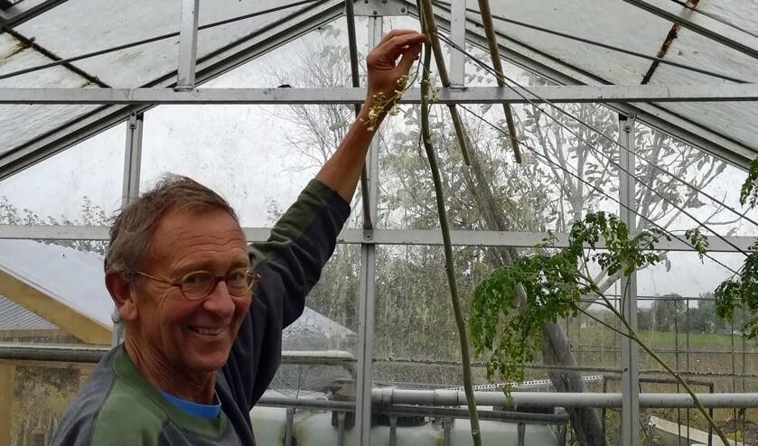 <p>Cees Breederland uit Stellendam heeft in de moringa oleifera,, ook wel &lsquo;wonderboom&rsquo;, een boom gevonden die veel voor de gezondheid doet. </p>