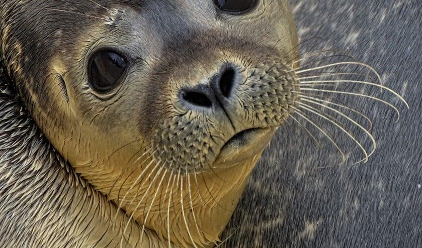 <p>Het aandoenlijk snoetje met grote ogen heeft een hoog aaibaarheidsgehalte en de Nederlander heeft een reflex ontwikkeld een zeehond te willen redden. Verstoring en daarna kidnapping kwamen steeds vaker voor.</p>
