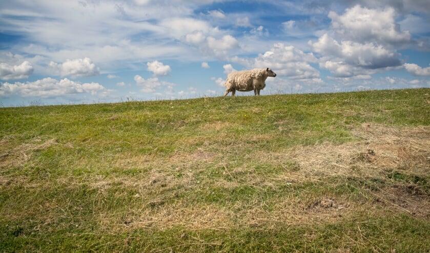 <p>Een schaap op een van de vele dijken in de regio. (Foto: Ruud Sies)</p>