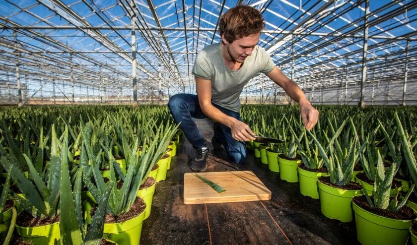 <p>Alo&euml; Vera-kwekerij Dr. Green is de eerste leverancier voor Plant a Friend Westland. Archieffoto: (PR/Thierry Schut)</p>