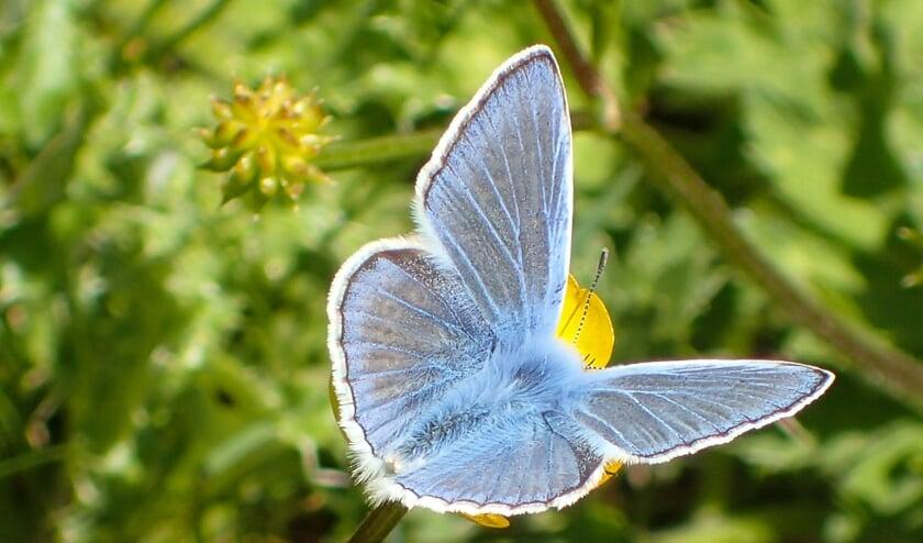 <p>Icarusblauwtje.&nbsp;</p>