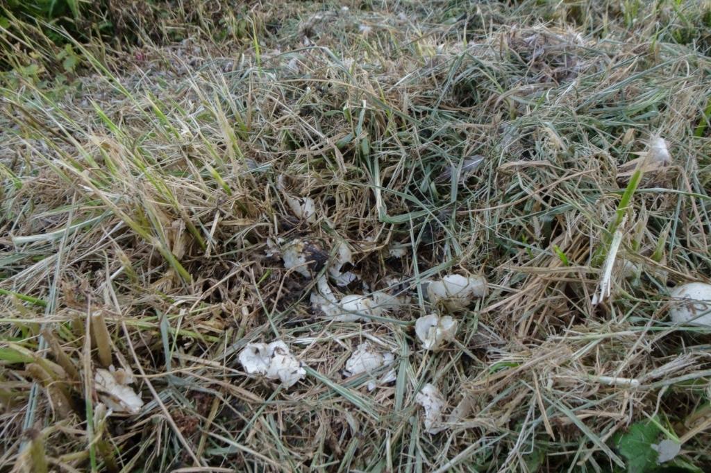 Eierschalen resteren van een vermalen eendennest   © WeekbladWestvoorne.nl