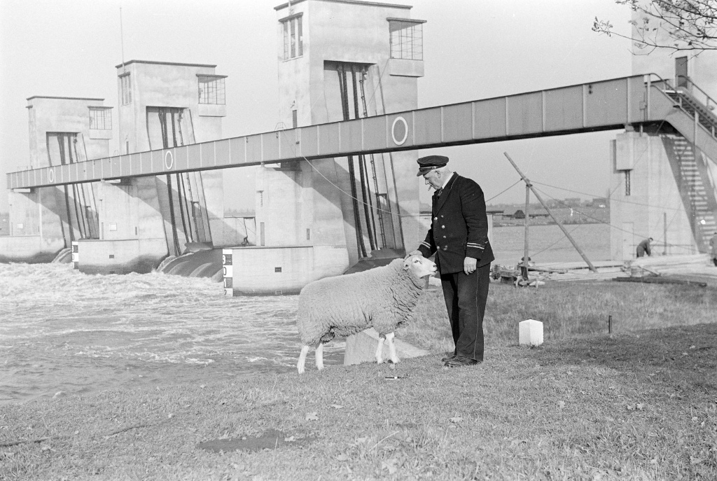 Sluiswachter en schaap, op de achtergrond de stuw in de Maas bij Lith. Foto: Daan Scholte, collectie Stadsarchief Oss.  Foto:  © Kliknieuws Oss