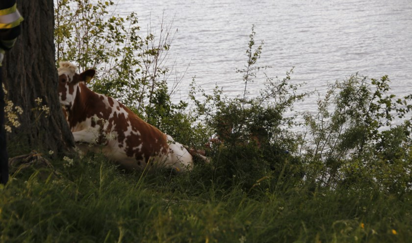 Koe in de problemen nabij de Maas in Oeffelt. (foto: SK-Media)