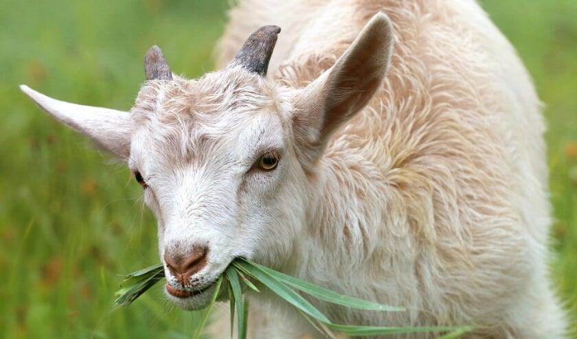 <p>Q-koorts is een infectieziekte die van dieren op mensen kan overgaan.</p>
