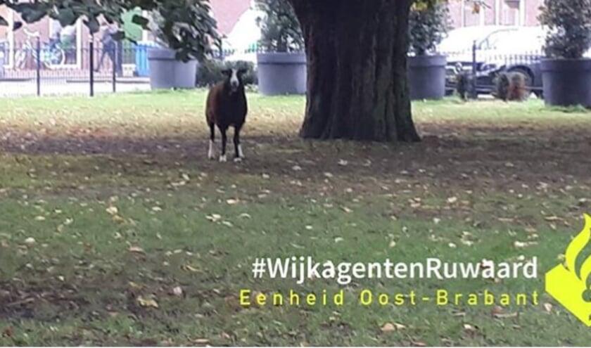 Schaap in het Jan Cunenpark. (Foto: wijkagenten Ruwaard, Instagram)