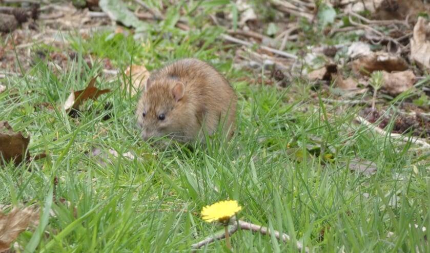 <p>Een rat in Oss. (Foto: Thomas)</p>