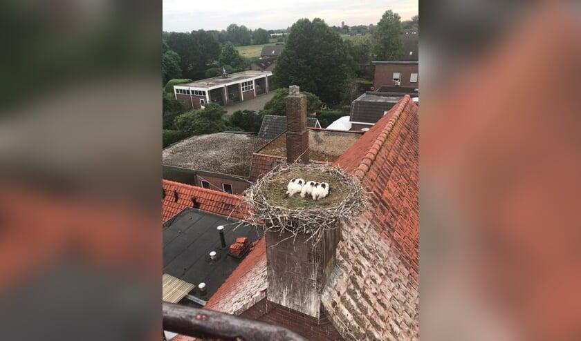 Vrijdagavond zijn de drie jonge ooievaars bij het Ottersumse café 't Swaantje geringd.