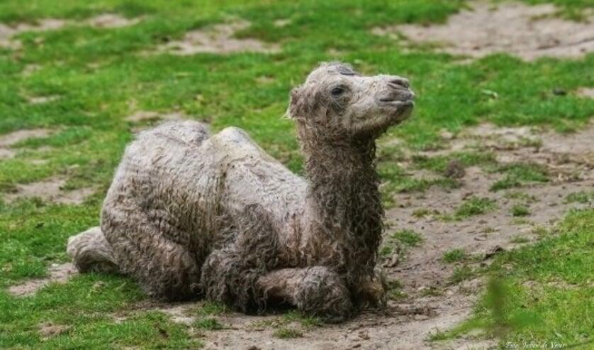 """""""Het kameeltje werd midden op de dag, in het buitenverblijf geboren. Bezoekers waren dus echt getuige. Dat is uniek en heel bijzonder om mee te mogen maken"""""""