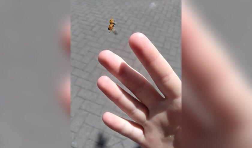 Lieveheersbeestje. (Foto: Susan van der Heijden)