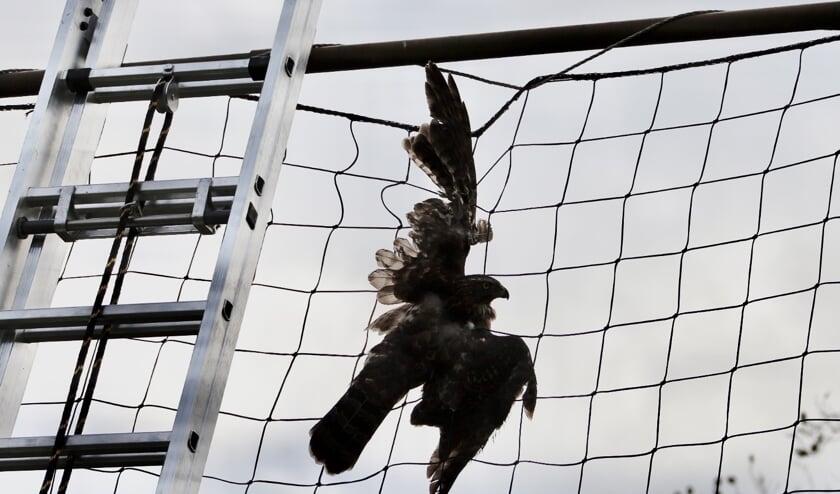 De buizerd raakte verstrikt in een net van de Hapse voetbalvereniging.