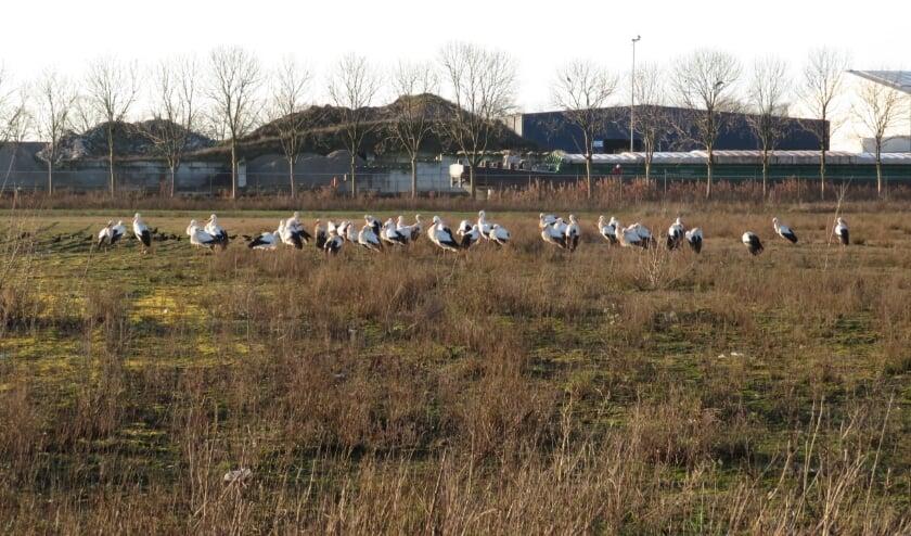 <p>Ooievaars in Oss. (Foto: Louis van Delft)</p>