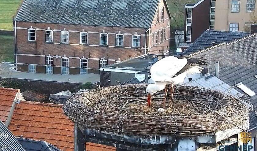 <p>Een van de ooievaars waakt over het eerste ei in het nest op het stadhuis. (foto Beleefdelente.nl)</p>