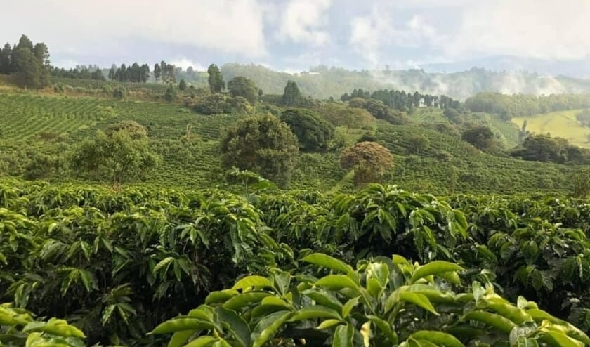 <p>Koffieplantage Gaia Estate in Costa Rica.&nbsp;</p>