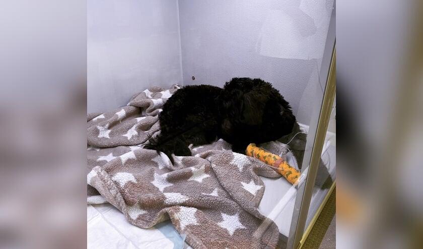Labradoodle Bobby in het ziekenhuis in Waalwijk.