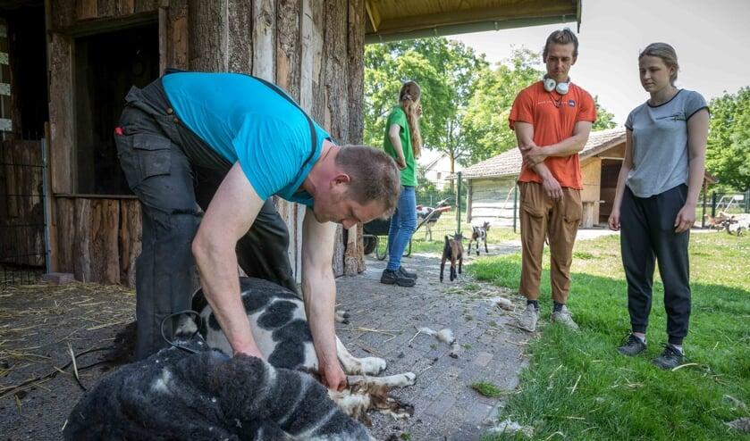 <p>Bas en Jenthe kijken toe bij schaapscheerder Peter Jansen.</p>