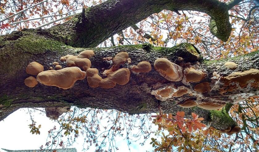 Boomgaardvuurzwam op circa 15 centimeter dikke tak van oude sierkers. (foto: Anja Castelein-de Winter)