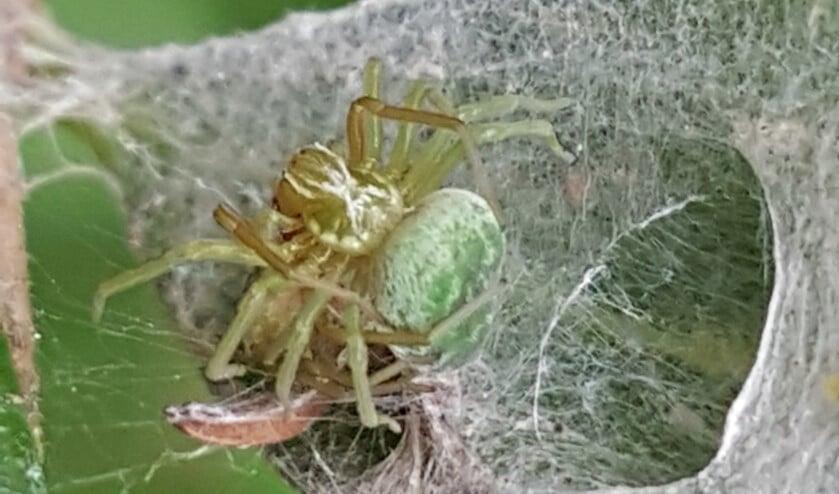 <p>Web met parende kaardertjes en het achterlijf van een insect. (Foto: Fred de Haas)</p>