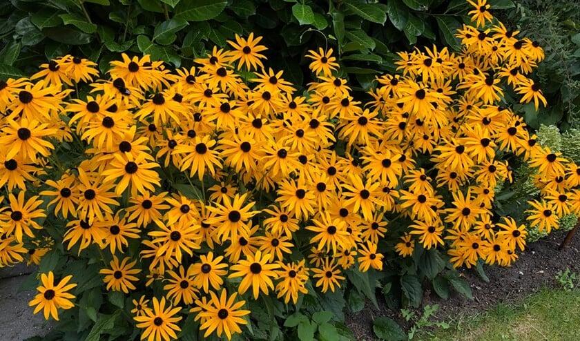 Rudbeckia's bloeien weelderig in de zomermaanden. (Foto: Martijn Mastenbroek)