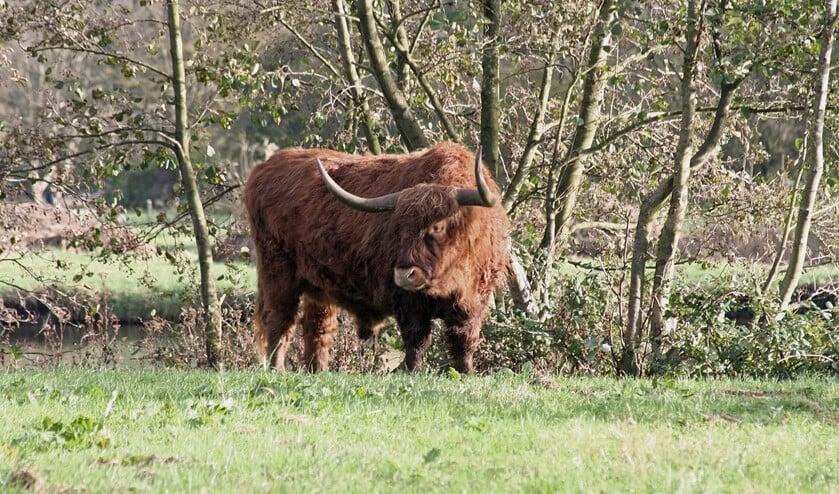 <p>Een Schotse hooglander in het Lage Bergse Bos. (Foto: PR/Staatsbosbeheer)</p>