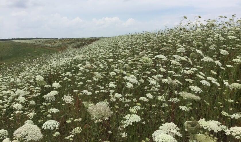<p>Bloeiende bloemen op een dijk van het waterschap. </p>