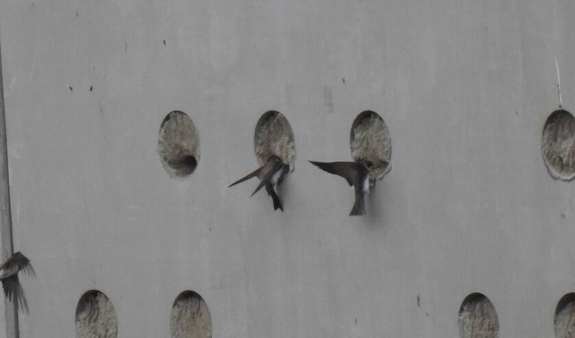 <p>De eerste oeverzwaluwen zijn &nbsp;bezig met het graven van nestgangen, die wel 1 meter en 20 centimeter diep kunnen zijn.&nbsp;</p>
