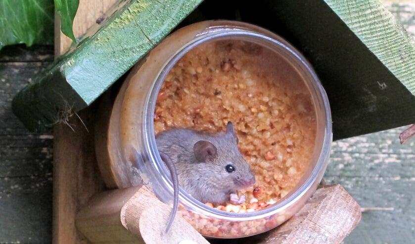 Sommige muizen overleven op een pot vogelpindakaas.