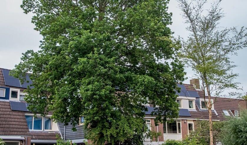 Dat een boom schaduw werpt op zonnepanelen, kan geen reden zijn voor een kapvergunning, volgens het aangepaste bomenbeleidsplan. Als de boom overmatig veel zon en licht in huis of tuin blokkeert, kan dat wel betekenen dat de boom moet wijken.