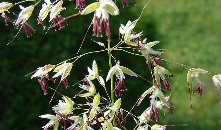 De bloemetjes van de grassoort Arrhenatherum elatius oftewel glanshaver. | Foto: Saxifraga