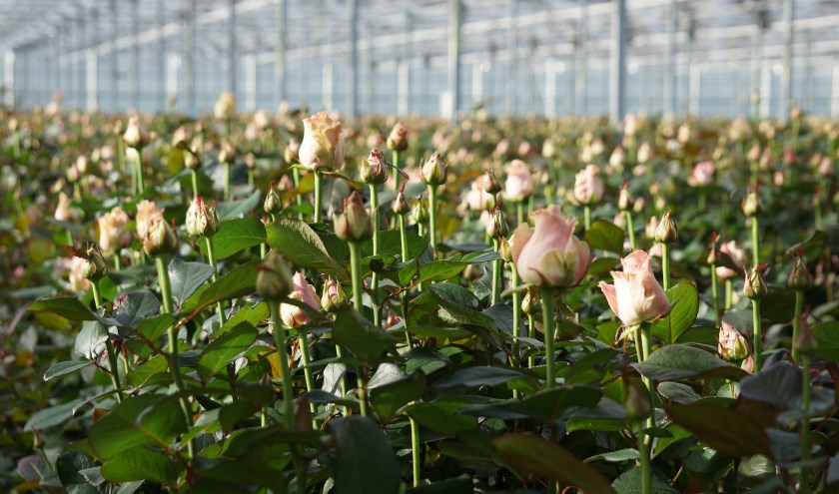 Een kas vol schitterende rozen.