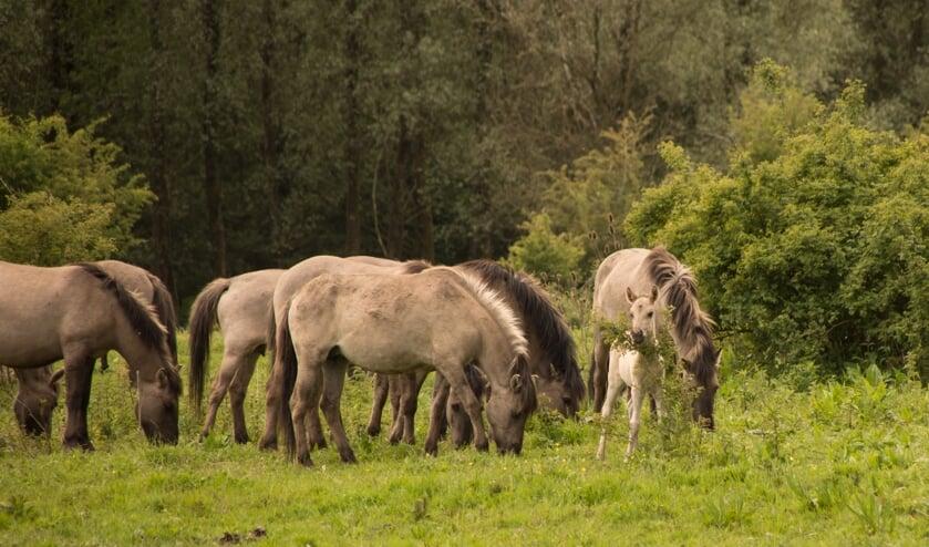 <p>Twee paarden raken hun plek kwijt aan de Eerste Elsgeesterweg. De paarden op de foto zijn niet de dieren waarover het in het artikel gaat.&nbsp;</p>