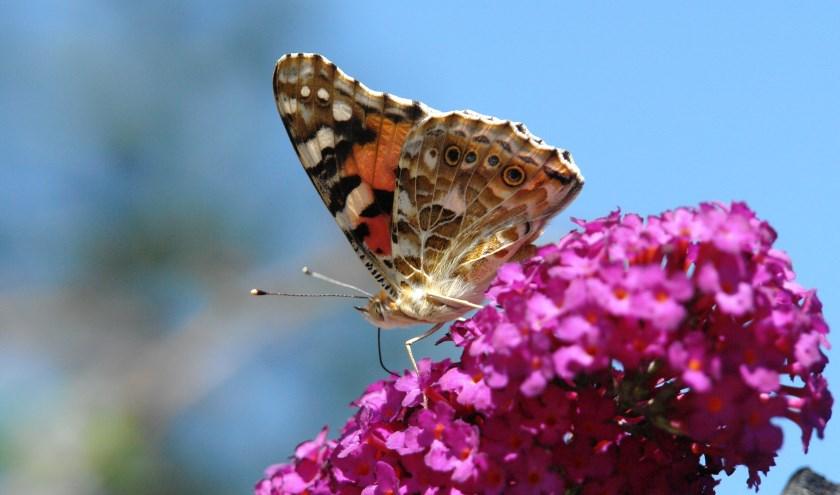 Een distelvlinder op de bloem van een vlinderstruik. Zal de distelvlinder dit jaar de  meest getelde vlinder worden?   Foto: PR