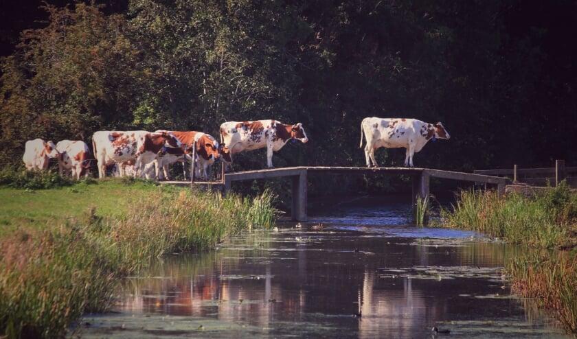 <p>Op hun gemak kuieren de koeien over het bruggetje, in beeld gevangen door de fotograaf.&nbsp;</p>