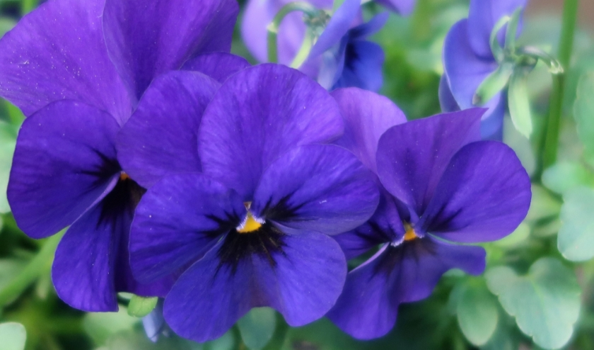 Koningsblauwe violen.