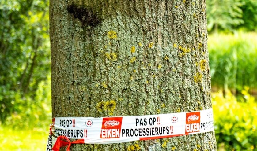 <p>Bomen waarin de eikenprocessierupsen zitten, worden gemarkeerd met een rood-wit lint. De nesten worden zo snel mogelijk verwijderd.&nbsp;</p>