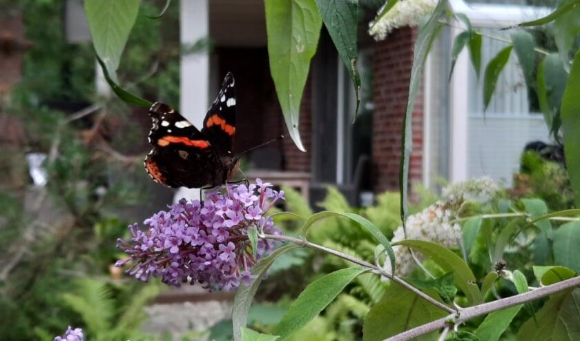 De atalanta, hier op een vlinderstruik, werd in Zuid-Holland het meest geteld.