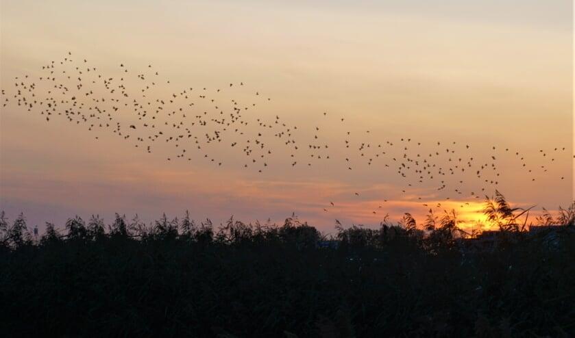 Spreeuwen voeren hun vliegshow op boven de Munnikkenpolder. | Foto: Ada Verwoerd